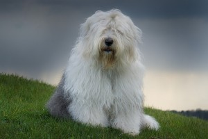 old_english_sheepdog_bobtail_nature_grass_dog_96179_1600x1200
